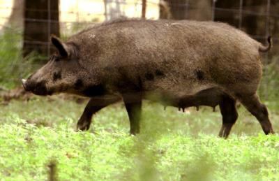 Hog In Heat Scent Urine