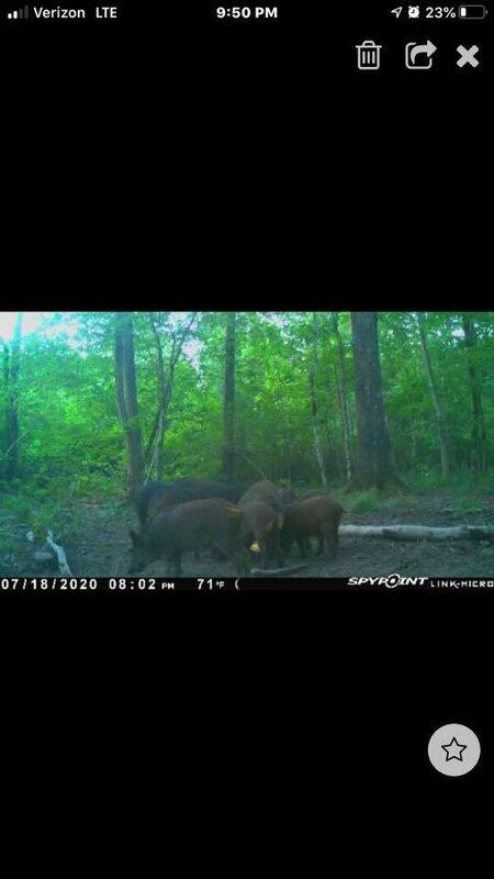 Best Hog Attractant 2021